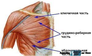 Строение грудной мышцы