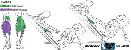 Нагрузка на мышцы Жим носками в тренажере