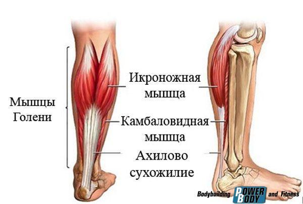 Подъемы на носки стоя. Мышцы под нагрузкой