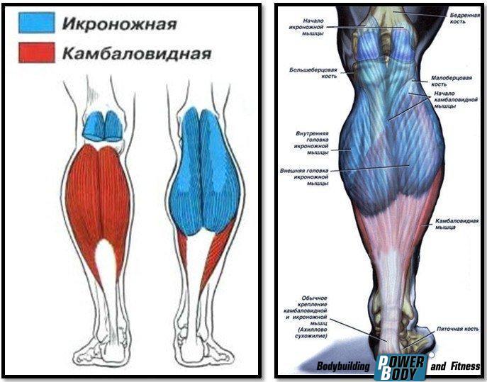 Подъем на носки с гантелями. Мышцы