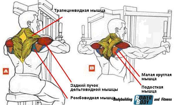 Мышцы, работающие в упражнении