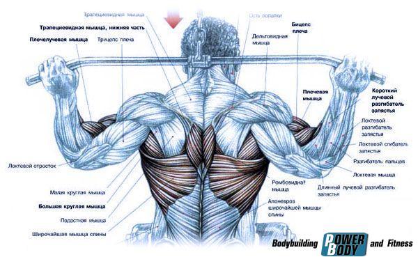Тяга верхнего блока. Работающие мышцы.