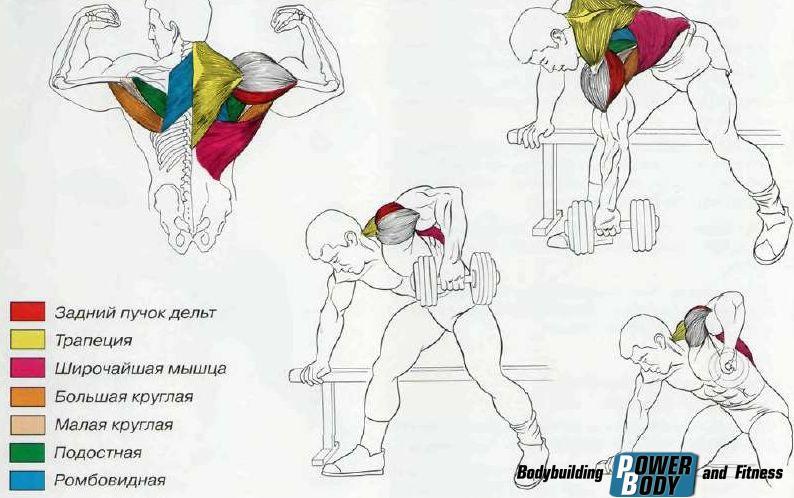 Тяга гантели в наклоне - работающие мышцы